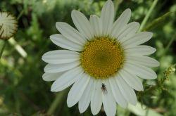 Magerwiesen-Margerite_Leucanthemum_vulgare_2017.05.21_P5212041