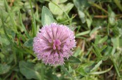 Wiesenklee_Trifolium_pratense_2017.05.21_P5212034