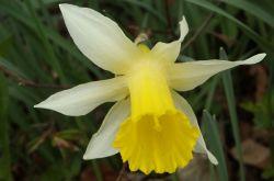 Wilde_Narzisse_Narcissus_pseudonarcissus_2017.04.16_P4161305